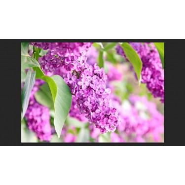 Fototapeta  Kwiaty bzu