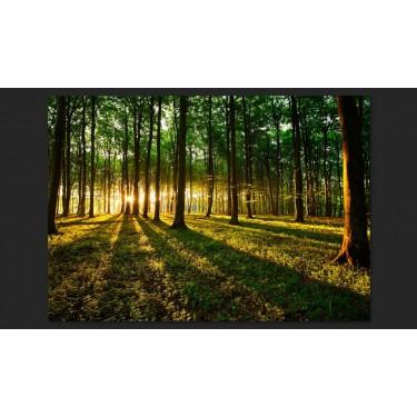 Fototapeta  Wiosna poranek w lesie