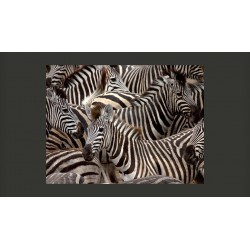 Fototapeta  Stado zebr