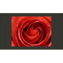 Fototapeta  Przebudzająca się róża