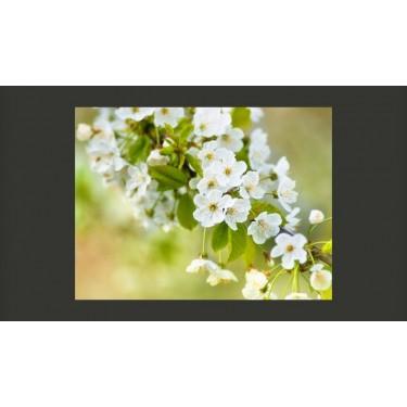 Fototapeta  Delikatne kwiaty wiśni