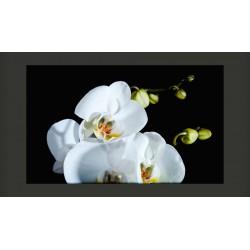 Fototapeta  Phalaenopsis